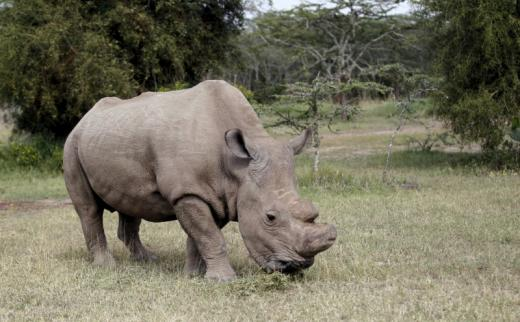 Glimmer of hope for ailing last male northern white rhino