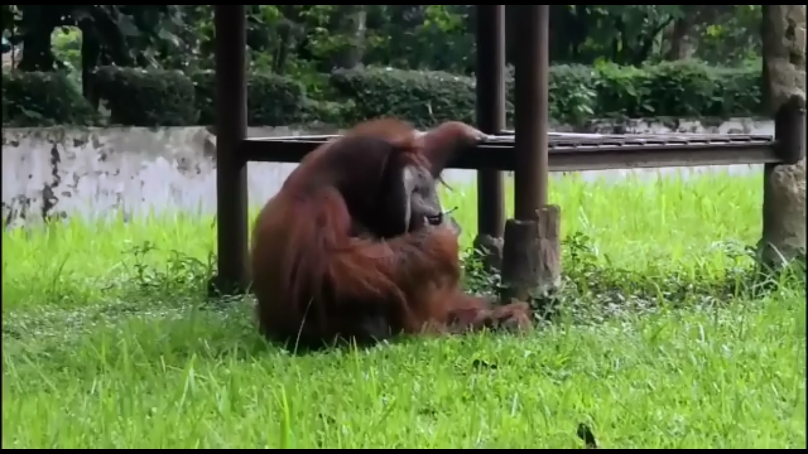 Indonesian orangutan caught puffing on zoo visitor's cigarette